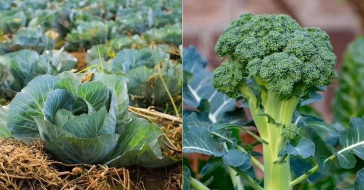 63 lakh package to Cabbage pickers